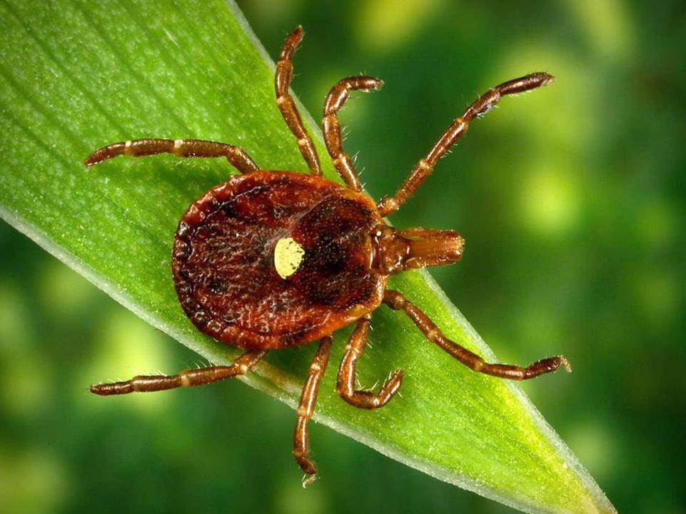 Картинка насекомое клещ