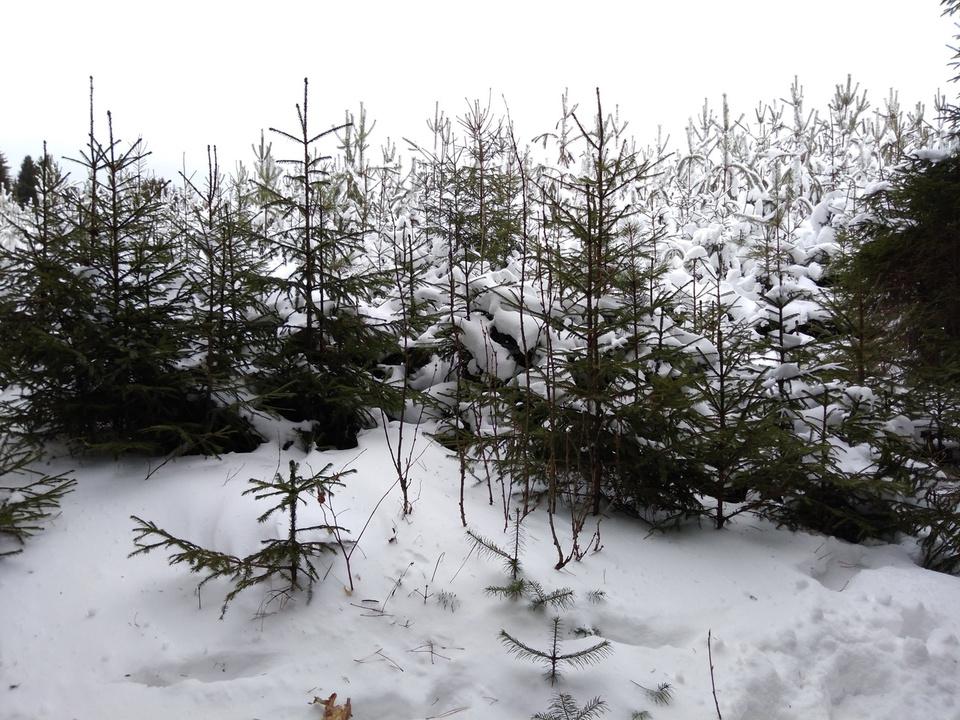 Зарубку новогодних елей вТверской области можно лишиться свободы
