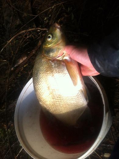перловка на рыбалку с медом