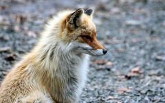 В Котельничском районе лиса напала на женщину